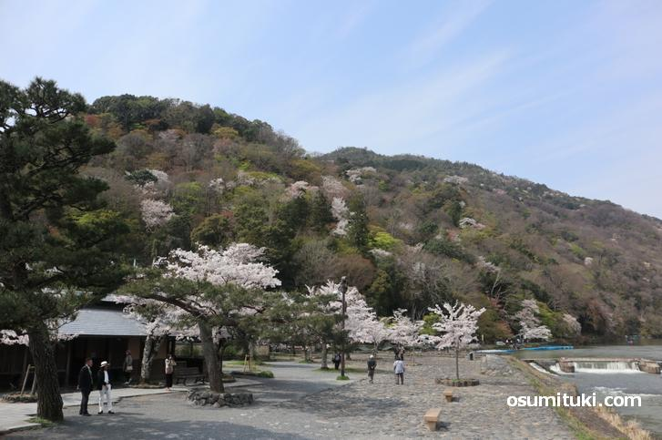 嵐山中之島公園の桜、満開見ごろです(2020年4月3日)