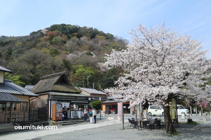 観光客がいない京都・嵐山の桜が満開見ごろ(2020年4月3日)