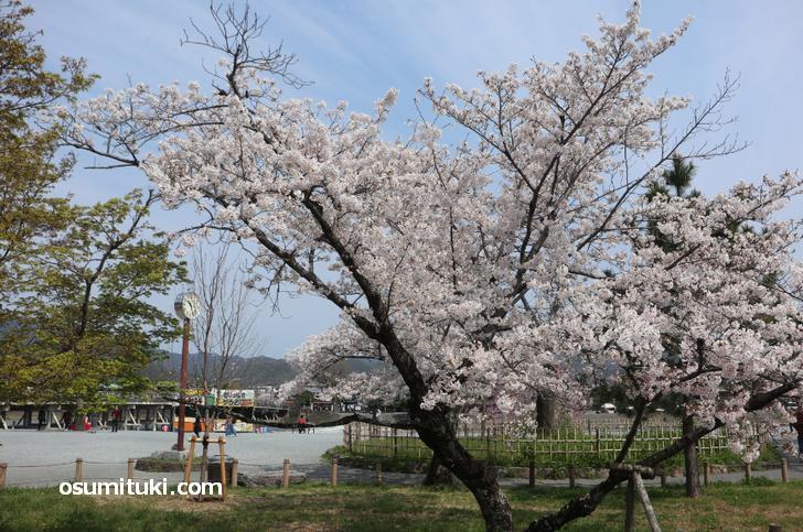人はいなくとも桜は咲きます