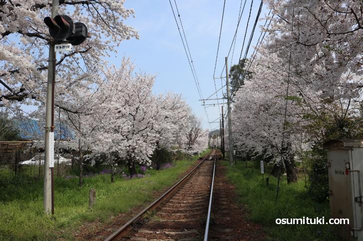 京都・桜のトンネルが満開見ごろ!