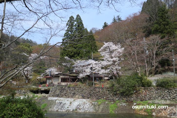 叡電「八瀬駅」も桜のシーズンは観光客でごった返します