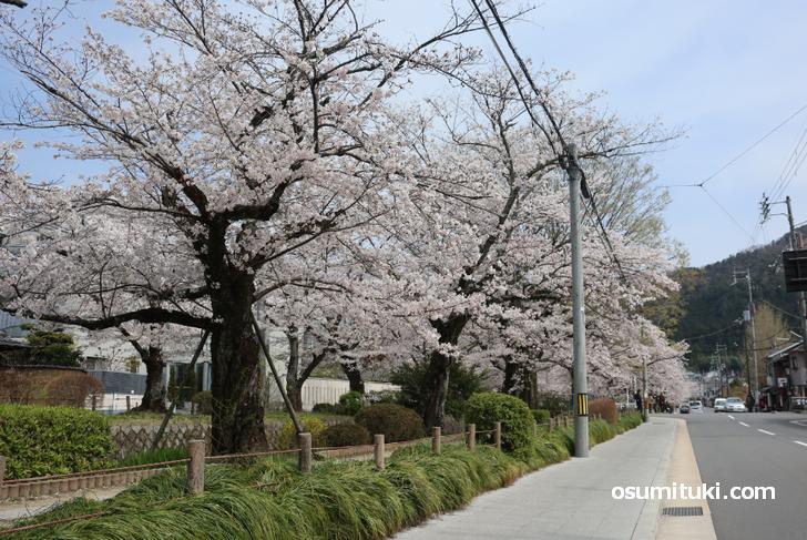 例年ならもちろん混雑する桜の名所です