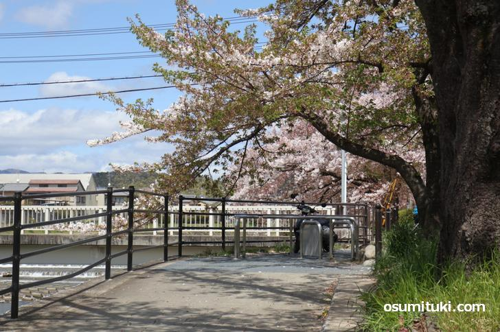 テークアウトして桜並木でラーメンを
