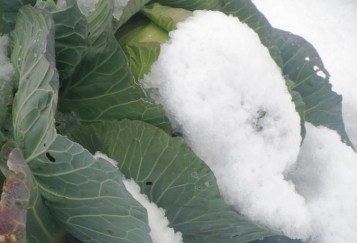雪の下で貯蔵して甘くする(熟成ともいう)野菜は他にもあります