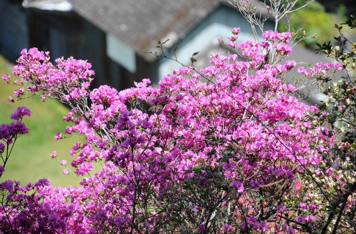 高知県四万十町「つつじの山」が『人生の楽園』で紹介