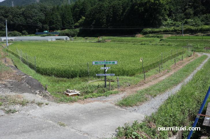 山陰街道の古道周囲には田んぼと農家さんがあります