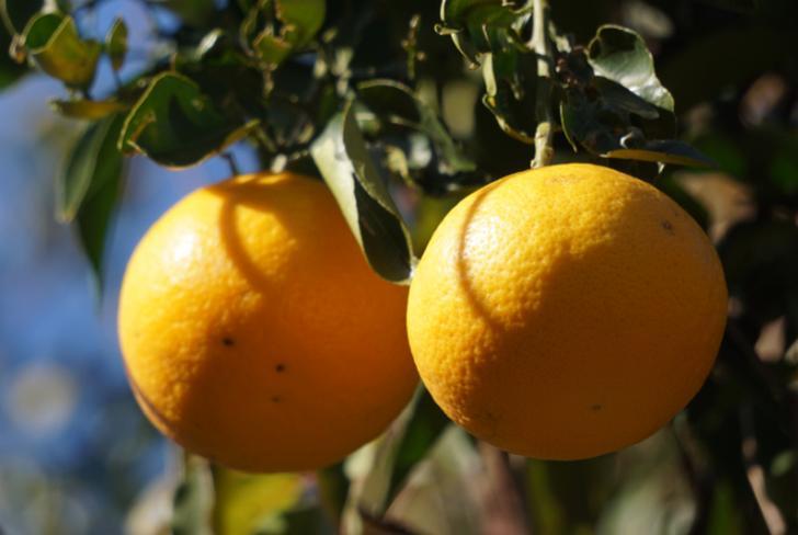 夏柑橘を餌に混ぜて魚臭さを抑えたのが「平戸なつ香ブリ」
