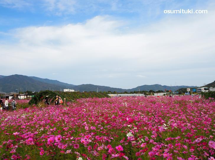 京都府亀岡市「夢コスモス園」の秋桜が超満開でした(2020年11月1日)