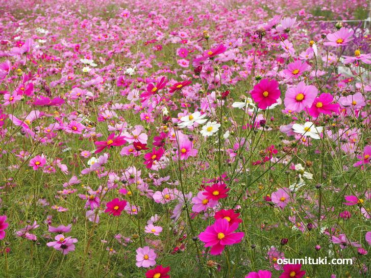コスモスにも早咲きのものと遅咲きのものがあります