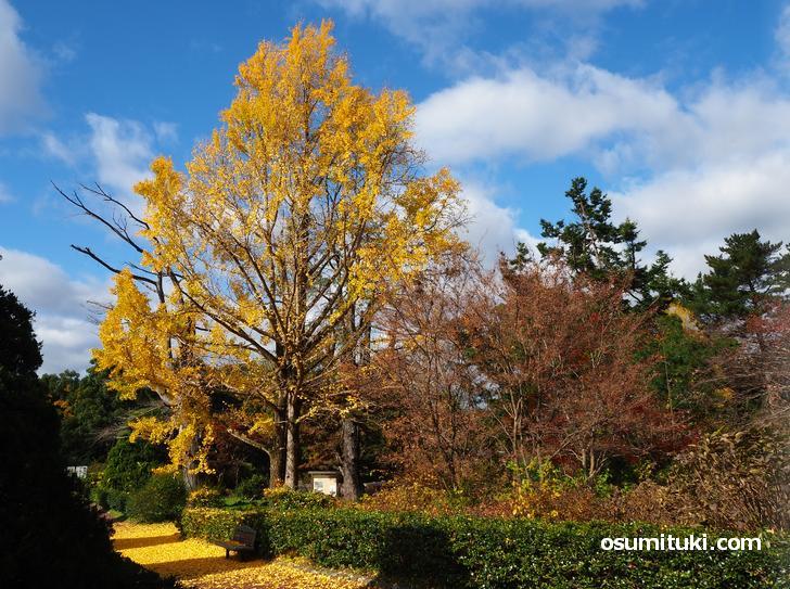 大きな銀杏の木もあります