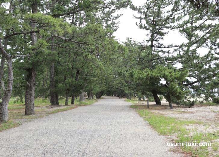 沿道には黒松が約7000本植えられている(天橋立)