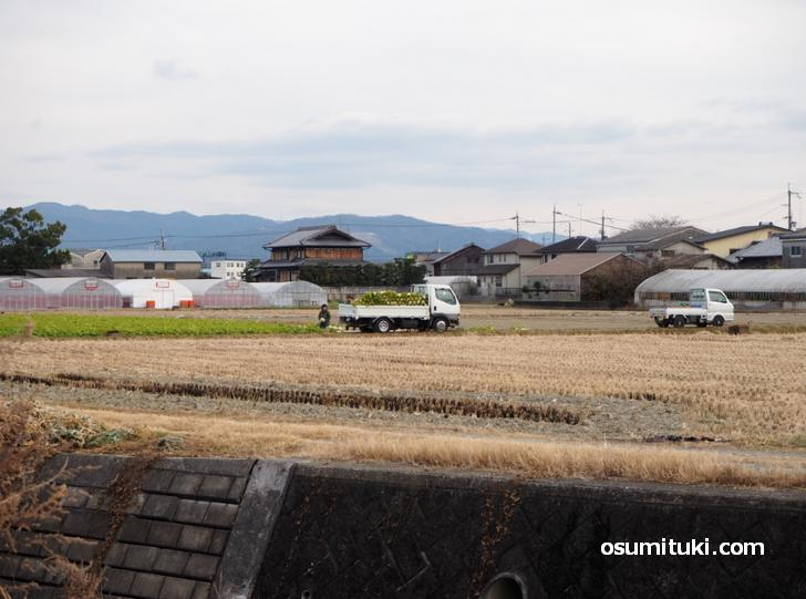 東一口の聖護院大根収穫の様子