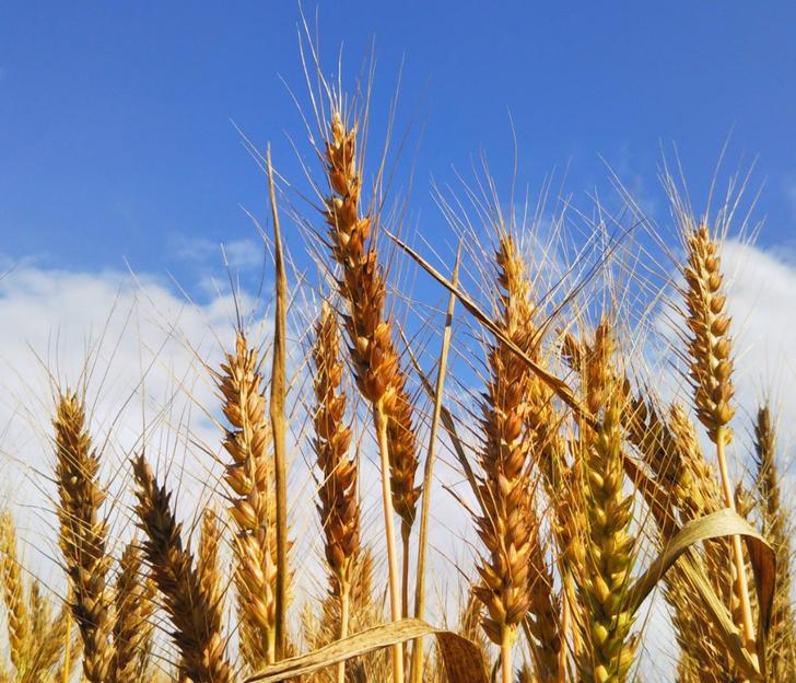 醤油の主原料は小麦と大豆です