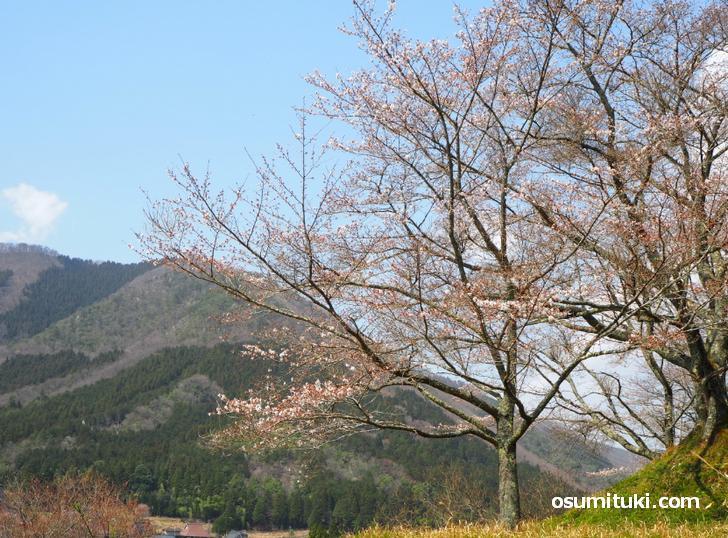 ニコサンカフェの目の前には大きな桜の木、テラスでカフェしてきました
