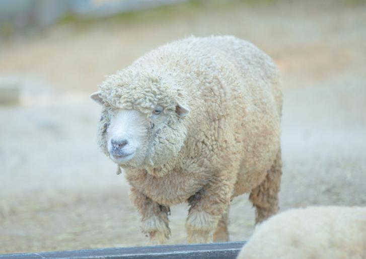 さとうみファーム「わかめ羊肉」が『満天☆青空レストラン』で紹介