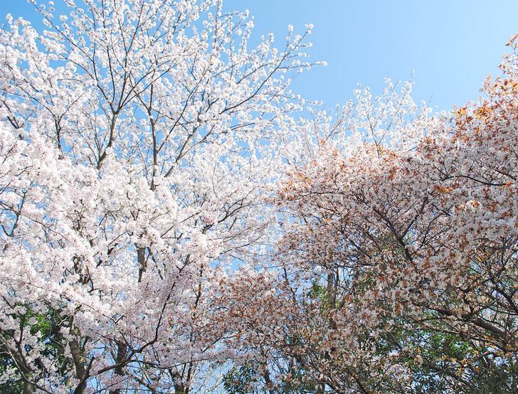 50の文字部分には桜が500本植えられている