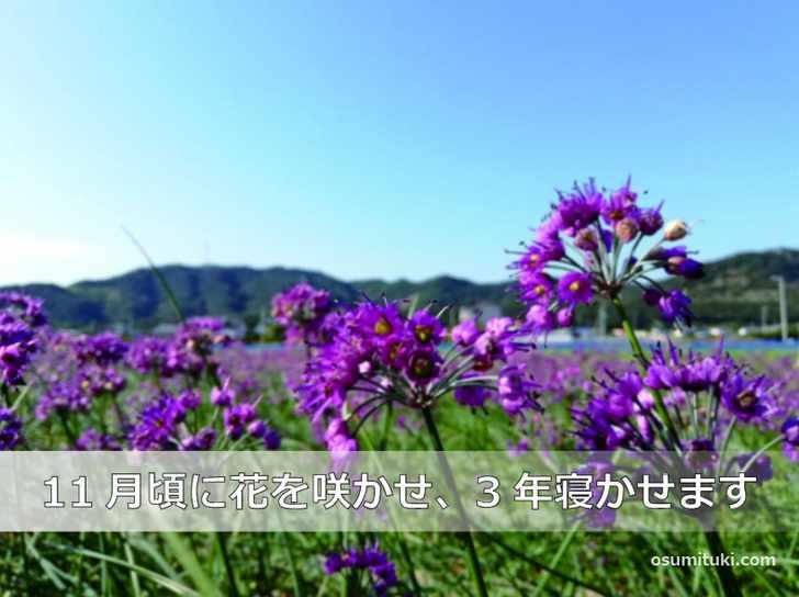 福井・三里浜の「三年子花らっきょう」は3年育てて掘り出されます