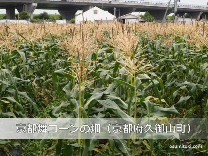 京都舞コーンの畑(京都府久御山町)