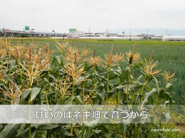京都舞コーンが甘いのは九条ねぎ畑で育つから