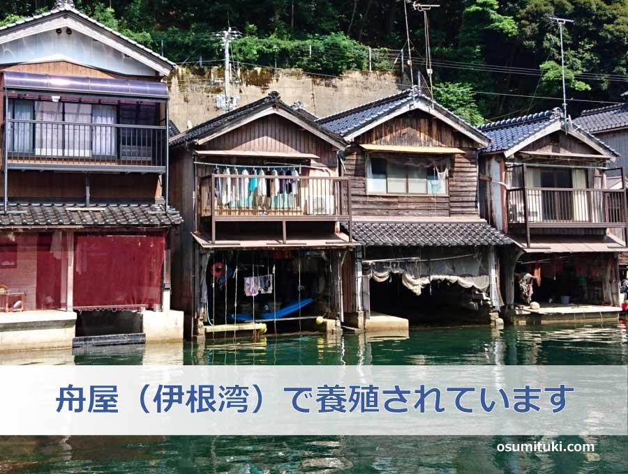岩ガキ「夏珠」は伊根の舟屋(伊根湾)で養殖されています